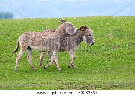 Twin brown donkeys playing on the meadow