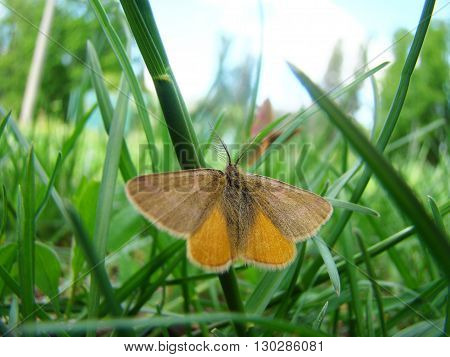 a moth is sitting in the grass with its wings outstretched