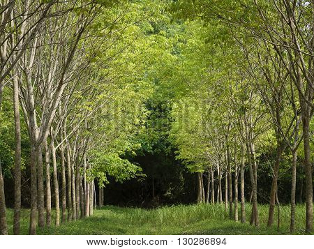 Forest trees Para Rubber Tropical Outdoor natural background