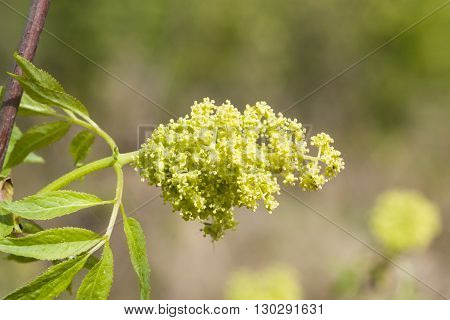 Flowers and leaves of blossoming red elderberry Sambucus Racenosa on branch with bokeh background macro selective focus shallow DOF