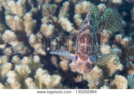 Isolated Colorful Grouper