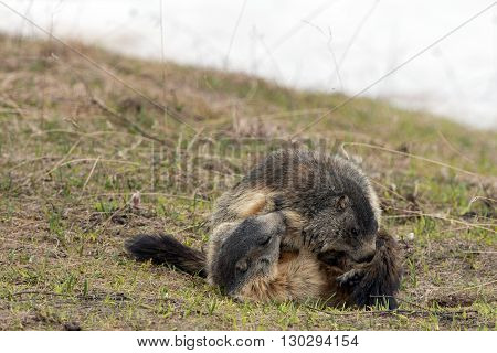 Ground Hog While Fighting On Grass