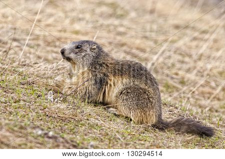Isolated Marmot Portrait While Looking For Food
