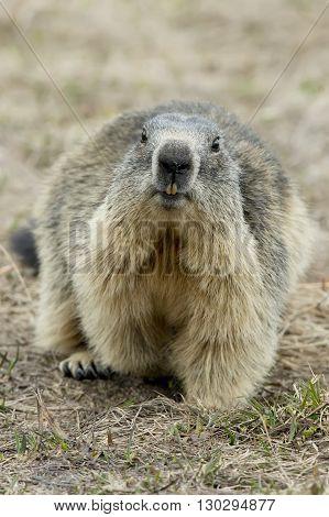 Marmot Portrait