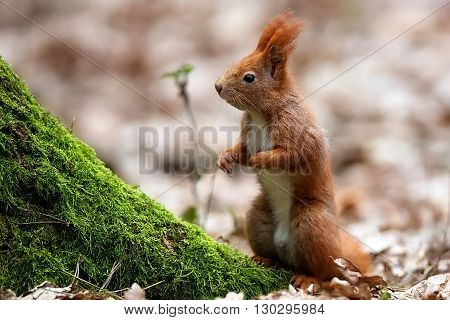 Red squirrel in the forest in the wild