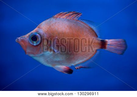 Tropical Isolated Colorful Red Fish