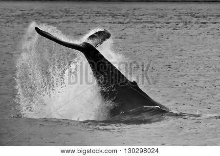 Humpback Whale Tail Splash In Black And White Glacier Bay Alaska