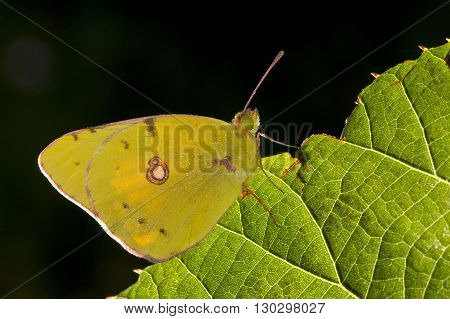 Yellow Butterfly Close Up Portrait On The Edge Of Green Leaf
