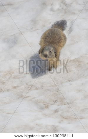 Isolated Marmot While Running On The Snow