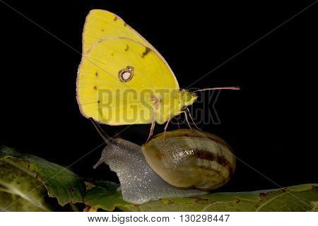Yellow Butterfly Landed On A Snail
