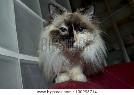Blue Eyes White And Black Ragdoll Cat Portrait
