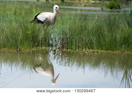 Stork Portrait While Reflecting On Swamp Water