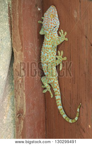 Close up Thailand gecko on wall in home