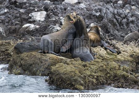 Sea Lions Seals While Fighting