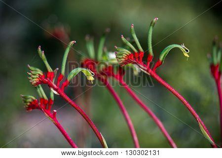 Kangaroo Pow Flower West Australia