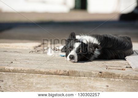 Border Collie Dog Looking At You