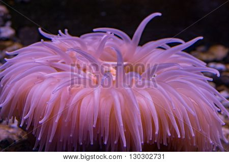 Antarctic Pink Anemone Underwater Close Up