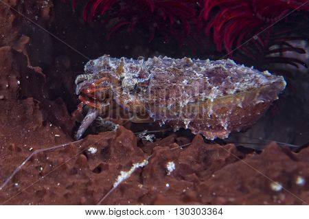 Squid Cuttlefish Underwater While Eating Shrimp