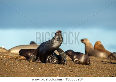 Sea Lion Family On The Beach In Patagonia