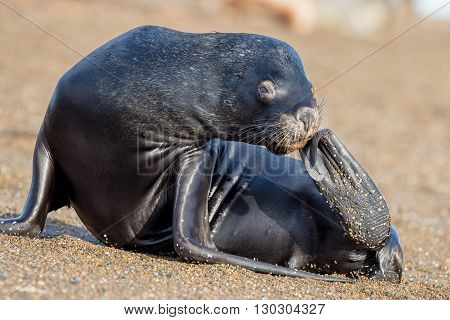Sea Lion On The Beach In Patagonia