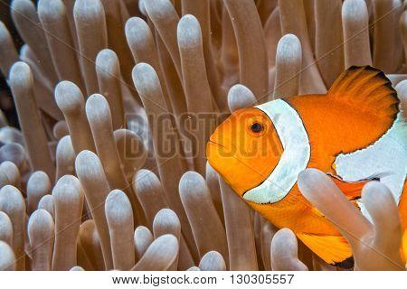 Clown Fish Portrait Inside Anemone