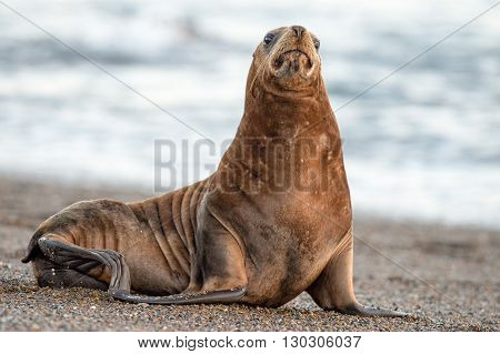 Sea Lion On The Beach In Patagonia Looking At You