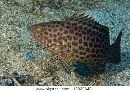 Colorful Grouper Isolated On Black