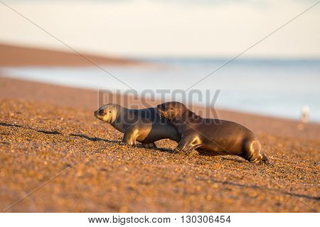 Baby Newborn Sea Lion On The Beach In Patagonia