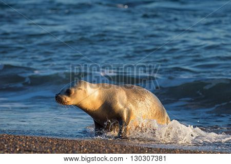 Baby Sea Lion On The Beach In Patagonia