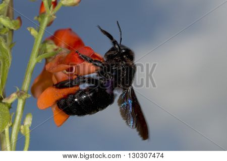 Black Hornet While Sucking Pollen
