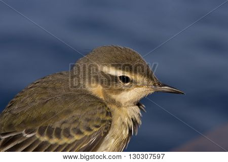 Wagtail Yellow Bird From Africa Portrait In The Blue Sea Background