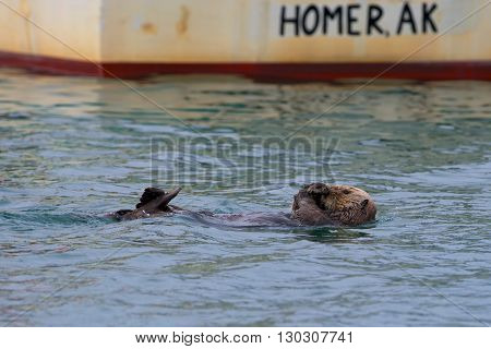 A Sea Otter Swiming On The Back In Homer, Alaska