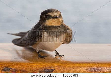 Swift Swallow Bird From Africa