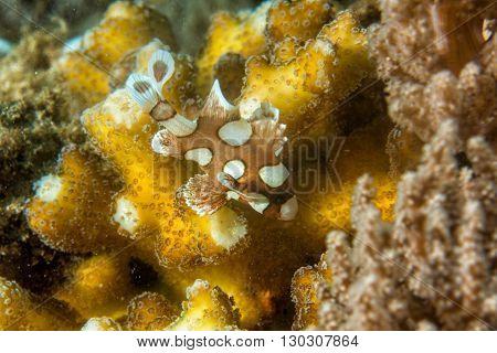 Plectorhinchus Clown Fish While Diving Indonesia