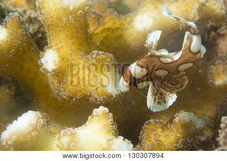 plectorhinchus clown fish close up portrait underwater