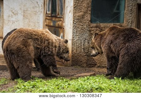 Black grizzly bears close up portrait view