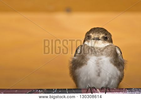 A Swift Swallow Bird From Africa Portrait In The Orange Wood Background