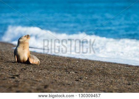 Puppy Sea Lion On The Beach In Patagonia