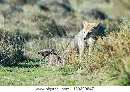 Grey Fox Hunting Armadillo On The Grass