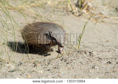 Sud America Armadillo Close Up Portrait