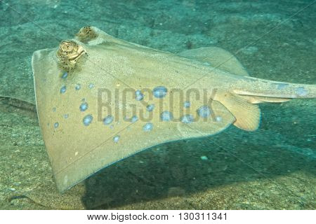 Blue Spotted Ray Close Up Eyes Detail In Sipadan, Borneo, Malaysia