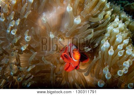 Red Clown Fish In Anemone With Shrimps In Raja Ampat Papua, Indonesia