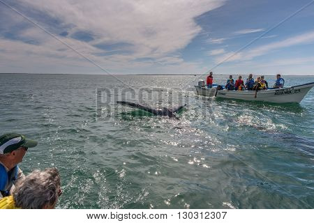 Alfredo Lopez Mateos - Mexico - February, 5 2015 - Grey Whale Approaching A Boat