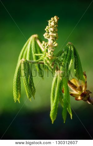 Young chestnut leafs unfolding from fresh bud spring-time tree branch against sunlight