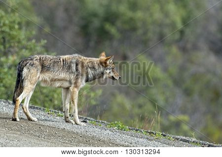 A Grey Wolf Looking At You