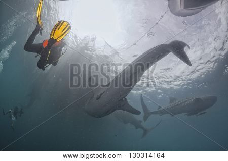 Whale Shark Underwater In The Deep Blue Sea Seems To Attack