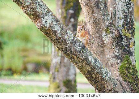 Squirrel or Sciurus vulgaris sits on tree trunk and eat nut