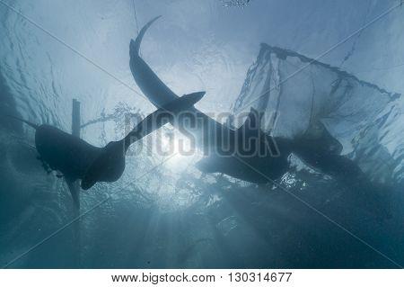 Whale Shark Under Fisherman Fishing Platform In Papua