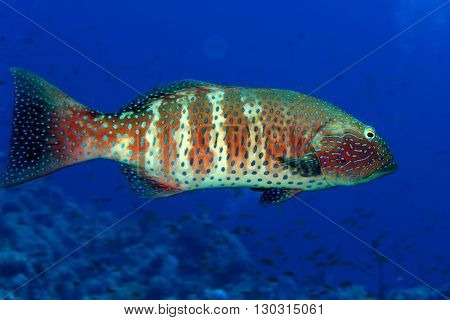An Isolated Colorful Grouper In The Blue Background