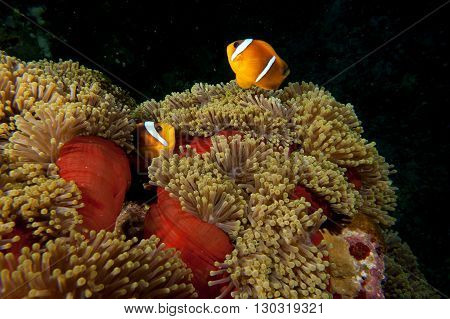 A Couple Of Clown Fish In The Red And Brown Anemone Over The Black Background